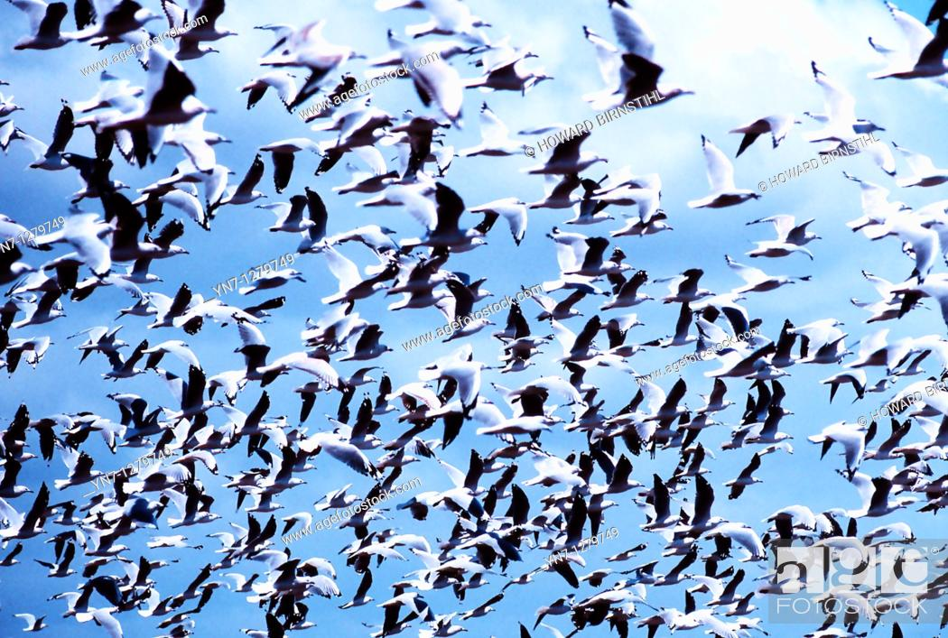 Stock Photo: mass of seagulls.