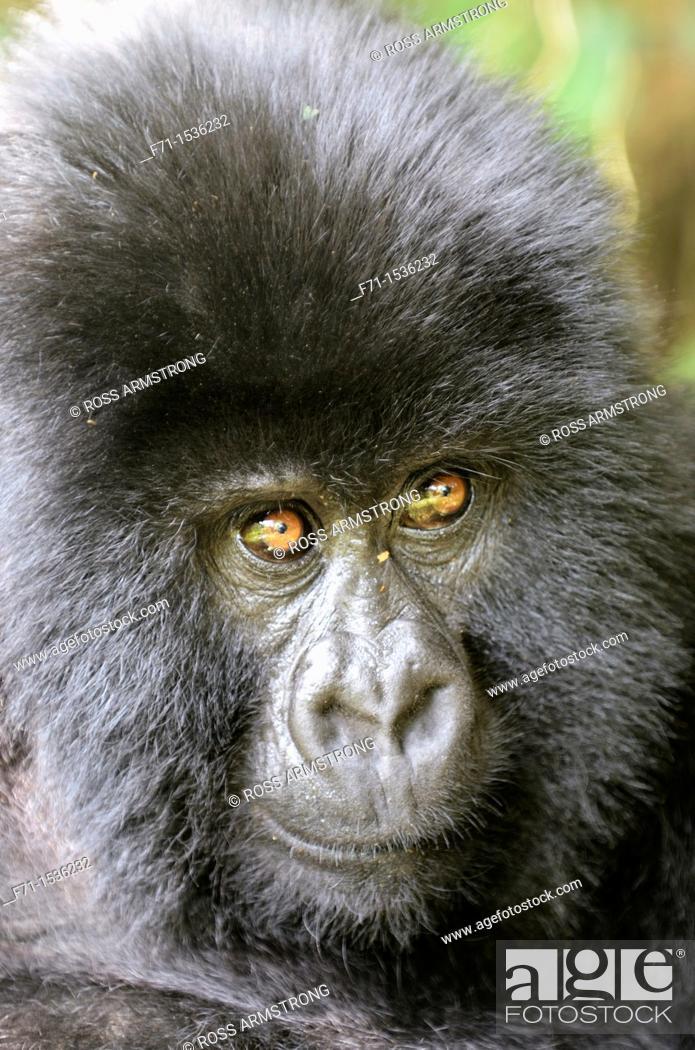 Stock Photo: Mountain Gorilla Gorilla beringei beringei in Volcanoes National Park in north-west Rwanda.