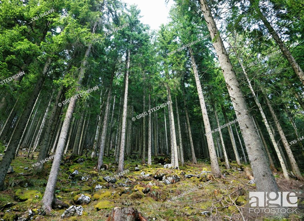 Stock Photo: A coniferous forest in the Swiss Alps near Mount Rigi.