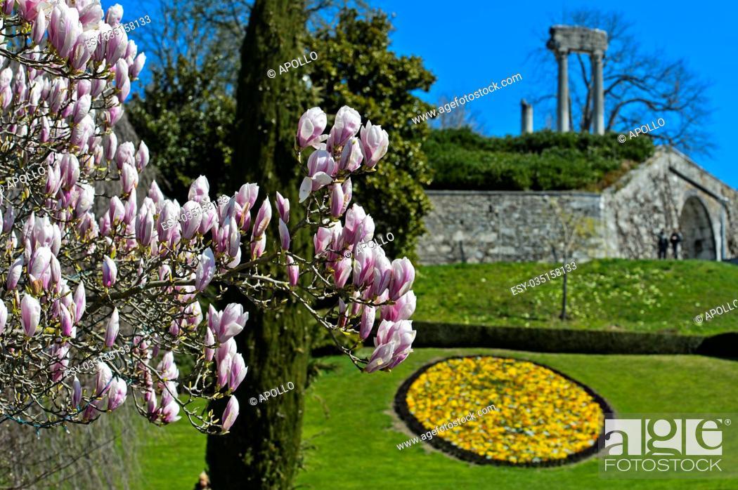 Photo de stock: Flowering magnolia in the park, Nyon, Vaud, Switzerland.