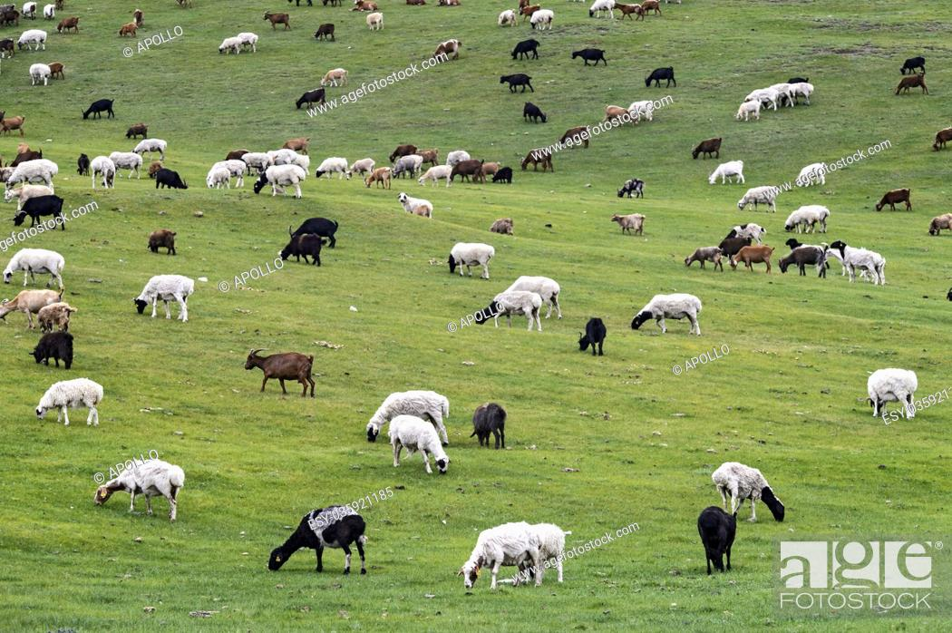 Stock Photo: Mixed herd of sheep and Kashmir goats grazing in Orkhon Valley, Khangai Nuruu National Park, Oevoerkhangai Aimag, Mongolia.