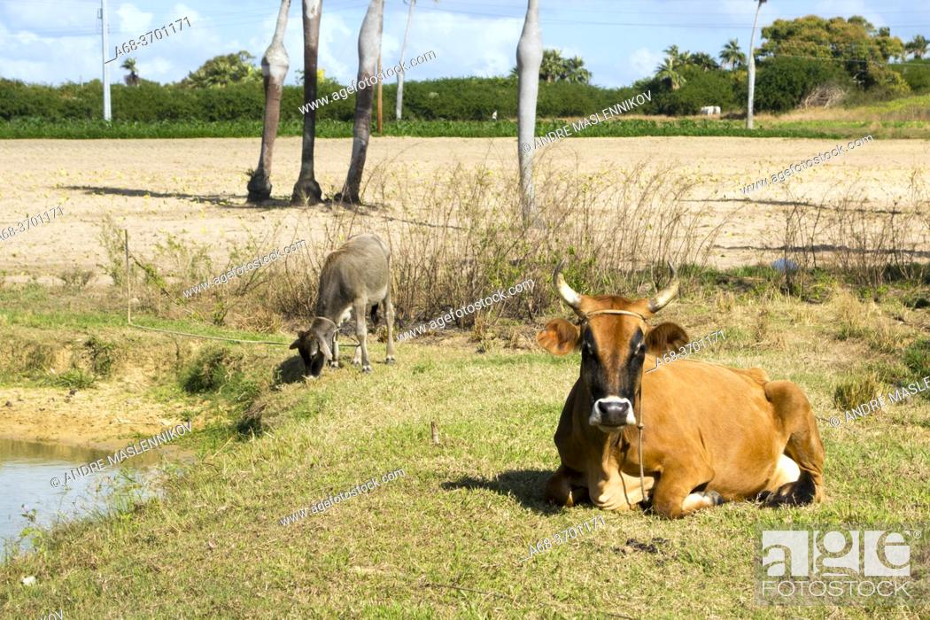 Stock Photo: Cow, Cuba.