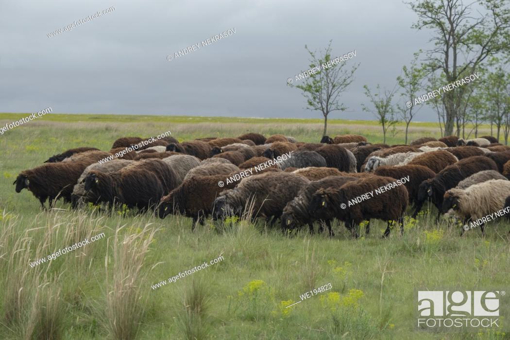 Stock Photo: A flock of sheep grazes in the wild flowering steppe. Tarutino steppe, Odessa oblast, Ukraine, Eastern Europe.
