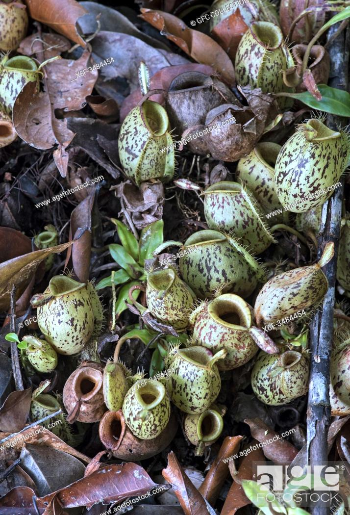 Photo de stock: Cluster of ground pitchers of Nepenthes ampullaria in situ, Pitcher plant family (Nepenthaceae), Kinabatangan river flood plain, Sabah, Borneo, Malaysia.