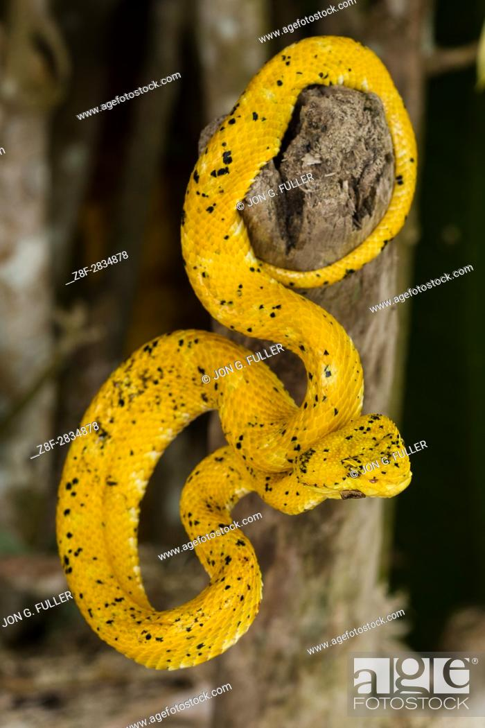 Stock Photo: Eyelash Viper, Horned Palm Viper, Bothriechis schlegelii, Schlegelâ. . s Palm Viper, is a relatively small arboreal pit viper.