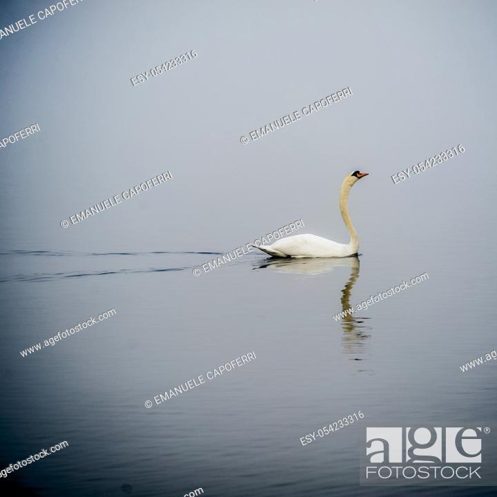 Stock Photo: Swan, Lake Maggiore, Italy.