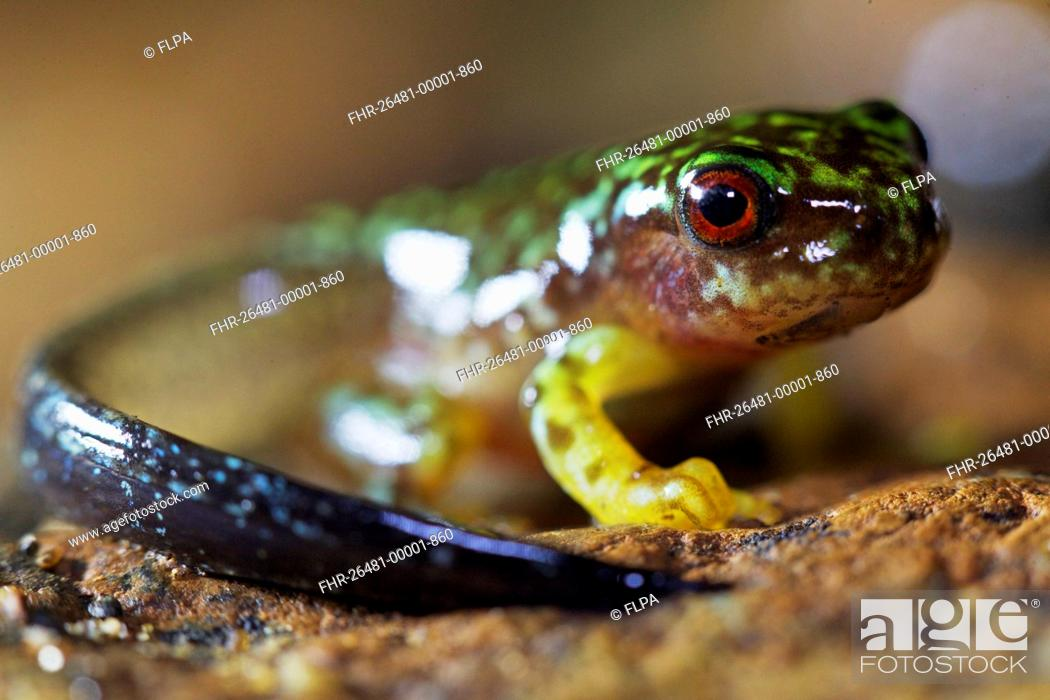 Imagen: Copan Brook Frog (Duellmanohyla soralia) metamorphosing froglet with tail, in cloudforest, Cusuco N.P., Sierra del Merendon, Honduras, July.