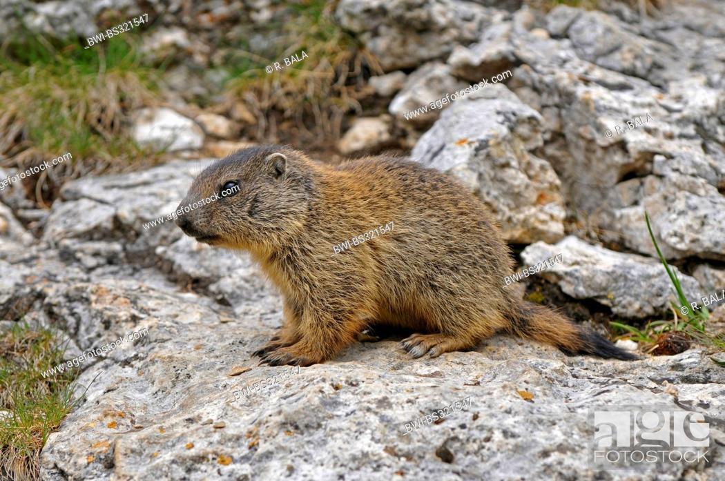 Stock Photo: alpine marmot (Marmota marmota), juvenile sitting on a rock, Italy.
