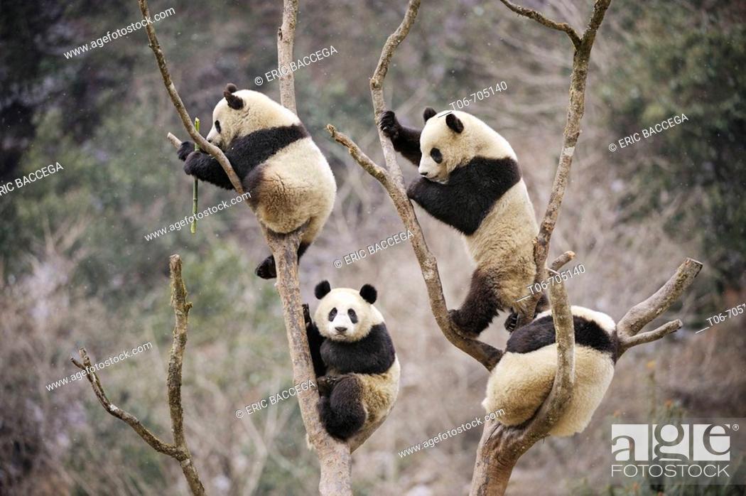 Stock Photo: Four subadult giant pandas climbing in a tree (Ailuropoda melanoleuca) Wolong Nature Reserve, China.