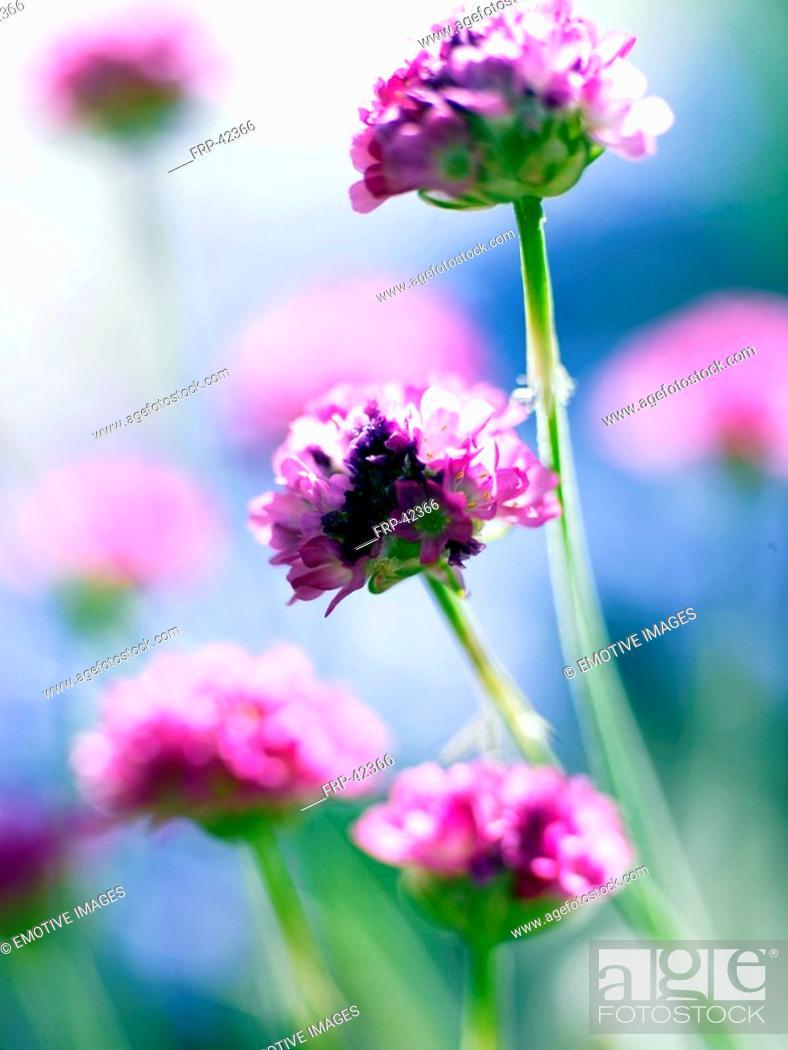 Stock Photo: close-up of a primrose.