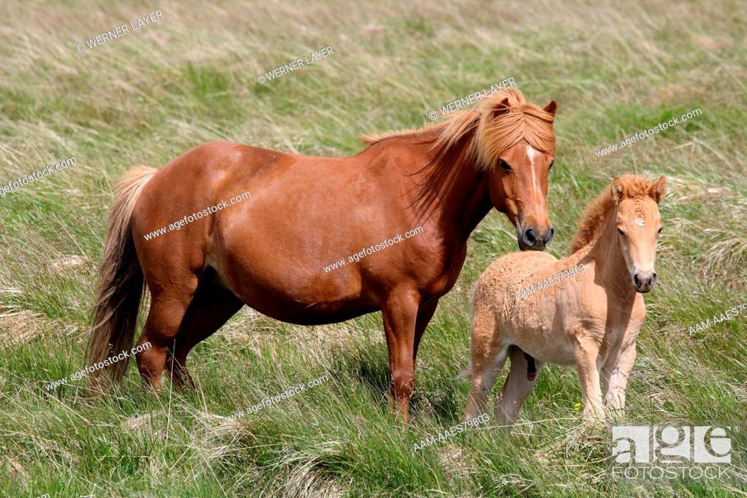Stock Photo: Icelandic Horse/ Pony with Foal, Iceland.