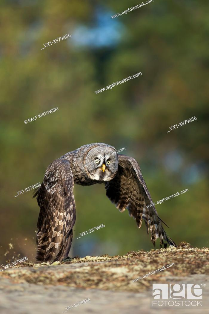 Stock Photo: Great Grey Owl (Strix nebulosa) in hunting flight, close above the ground, in fall, autumnal boreal colors.