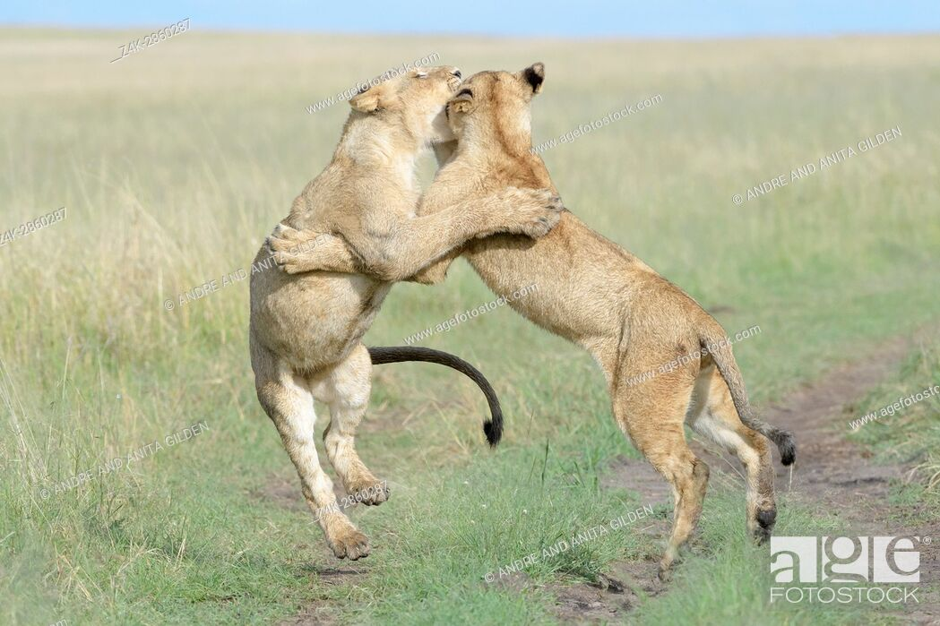 Stock Photo: Young lions (Panthera leo) playing together, Maasai Mara national reserve, Kenya.