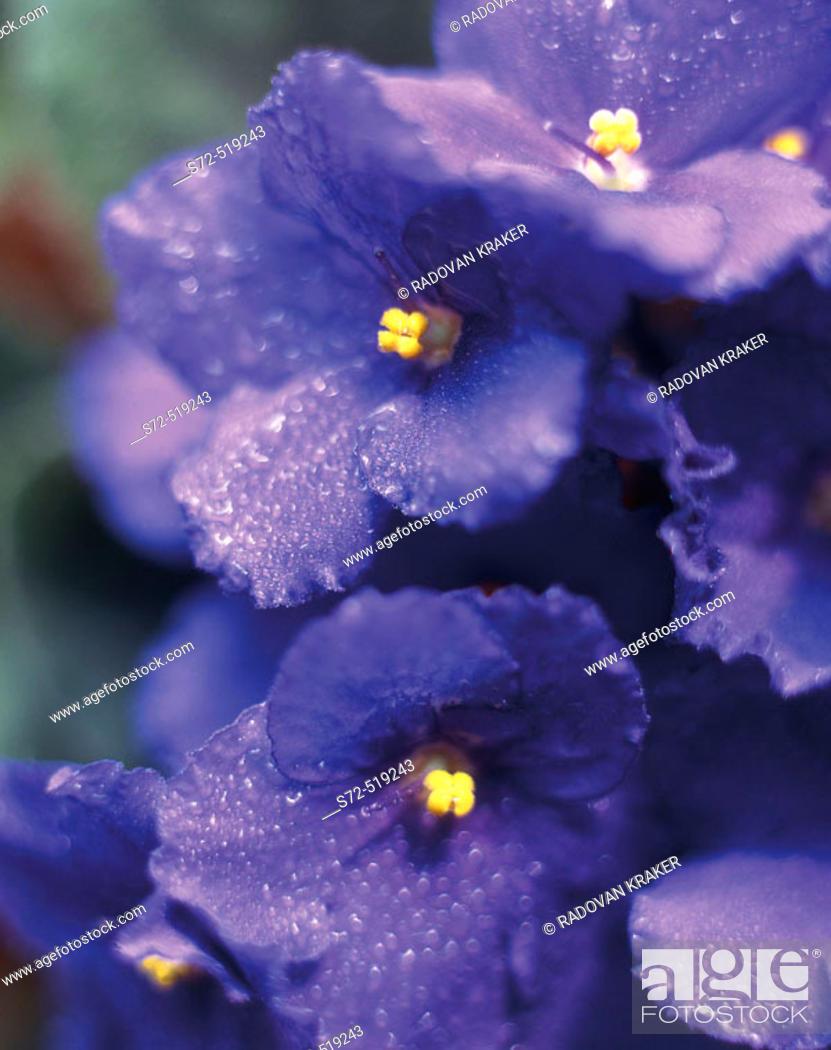 Stock Photo: Viola flower, detail.