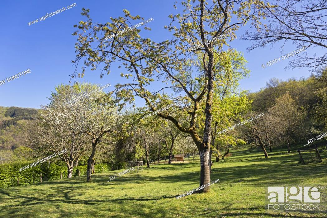 Stock Photo: Europe, Luxembourg, Insenborn, Field near Lac Sure with fruit trees in blossom.