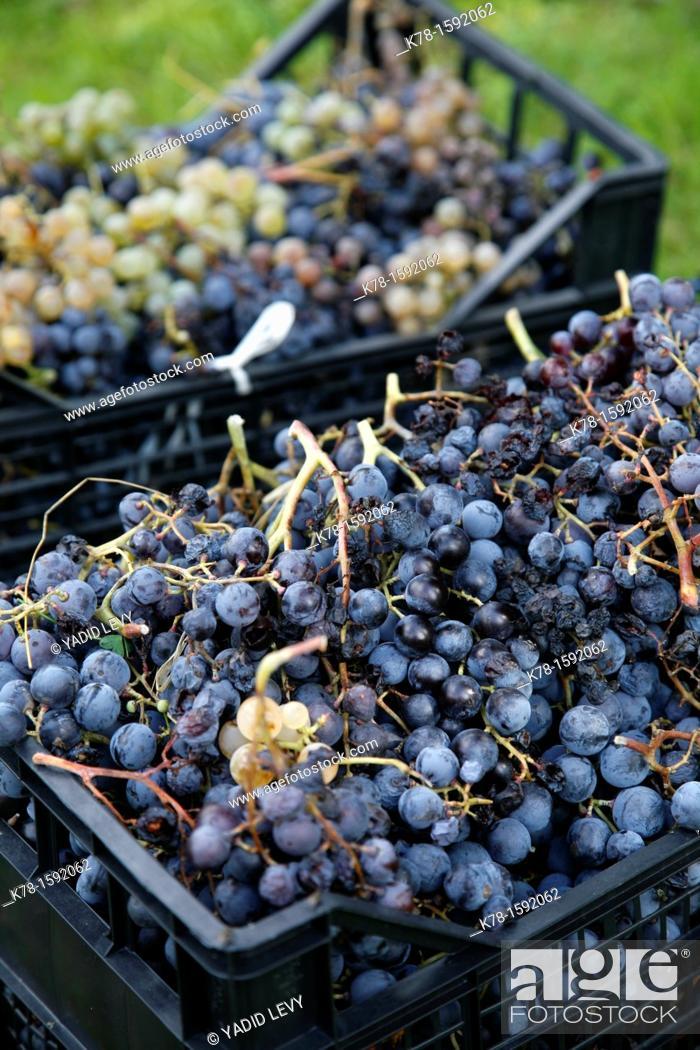 Stock Photo: Grape harvest near Urzuley in the Gennargentu region, Sardinia, Italy.