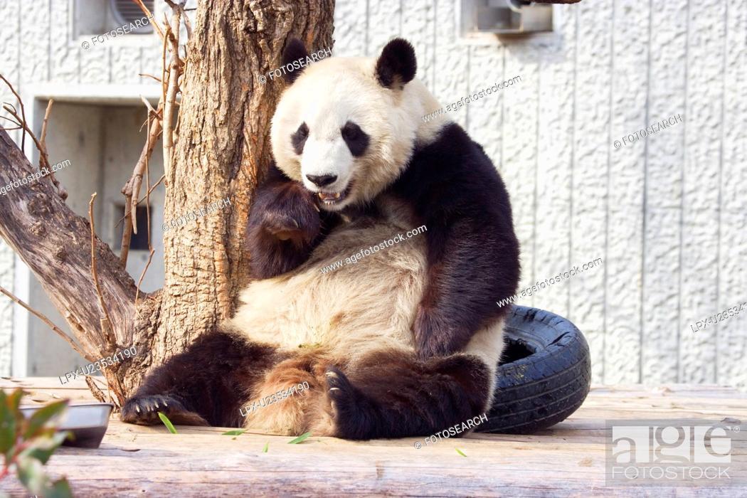 Stock Photo: Giant panda.