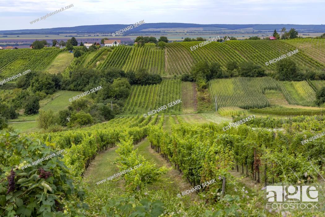 Stock Photo: Summer vineyard nearby Strekov, Southern Slovakia.