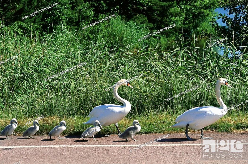 Stock Photo: Finland, Aland Islands, Eckero, Swan crossing.