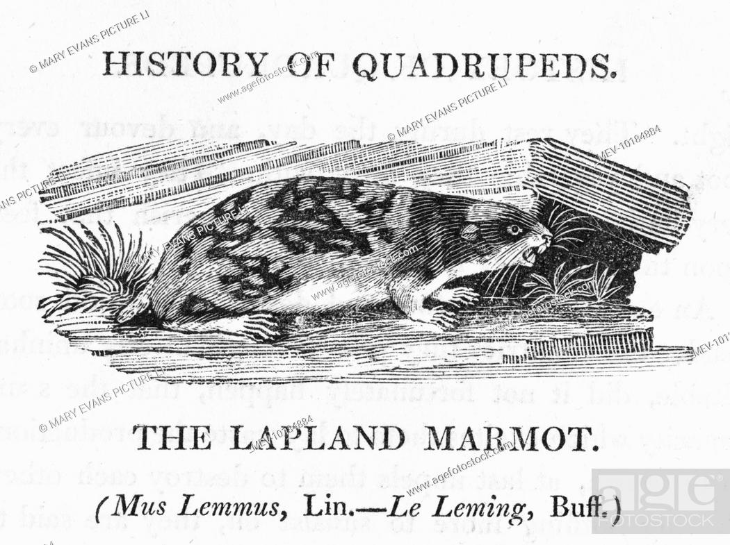 mus lemmus - the LAPLAND MARMOT is better known as the LEMMING