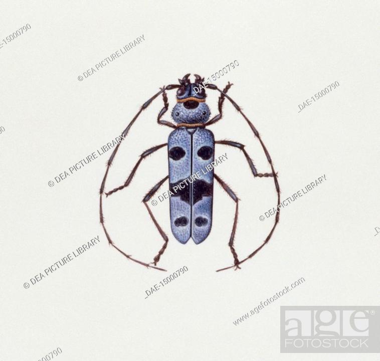 Stock Photo: Zoology: Insects - Coleoptera - Alpine Longicorn (Rosalia alpina). Art work.