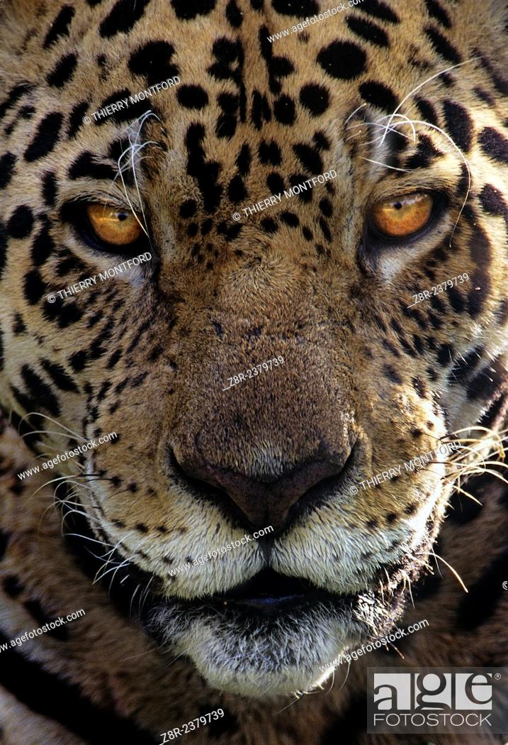 Stock Photo: Panthera onca. Portrait of a male jaguar. French Guiana.