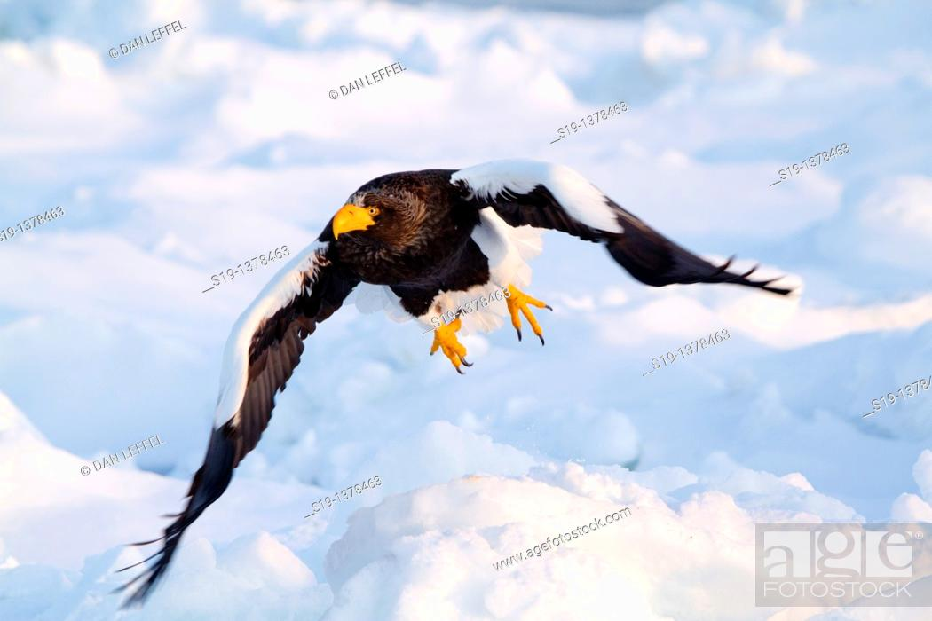 Stock Photo: Steller's Eagle, Nemuro Channel, Hokkaido, Japan.