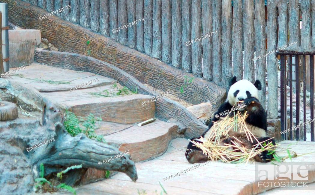 Stock Photo: giant panda is eating bamboo.