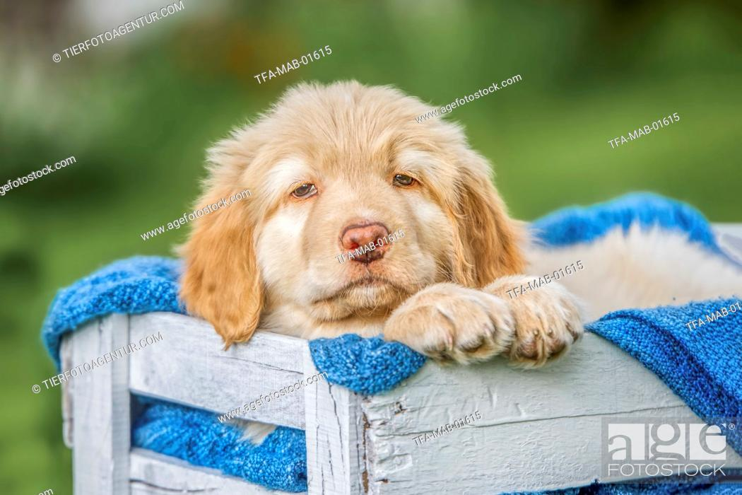 Stock Photo: Hovawart puppy in a case.
