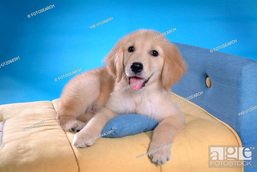 Stock Photo: canine, domestic animal, closeup, close up, looking camera, companion, golden retriever.