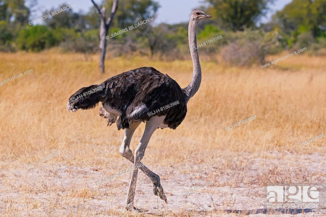 Stock Photo: Ostrich (Struthio camelus), male.