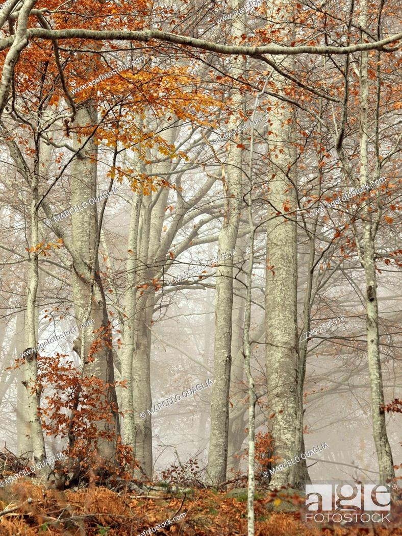 Stock Photo: Autumn misty beech forest (Fagus sylvatica). Montseny Natural Park. Barcelona province, Catalonia, Spain.