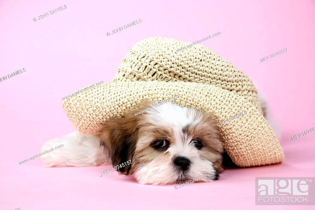 Dog Shih Tzu 10 Week Old Puppy With Staw Hat Stock Photo