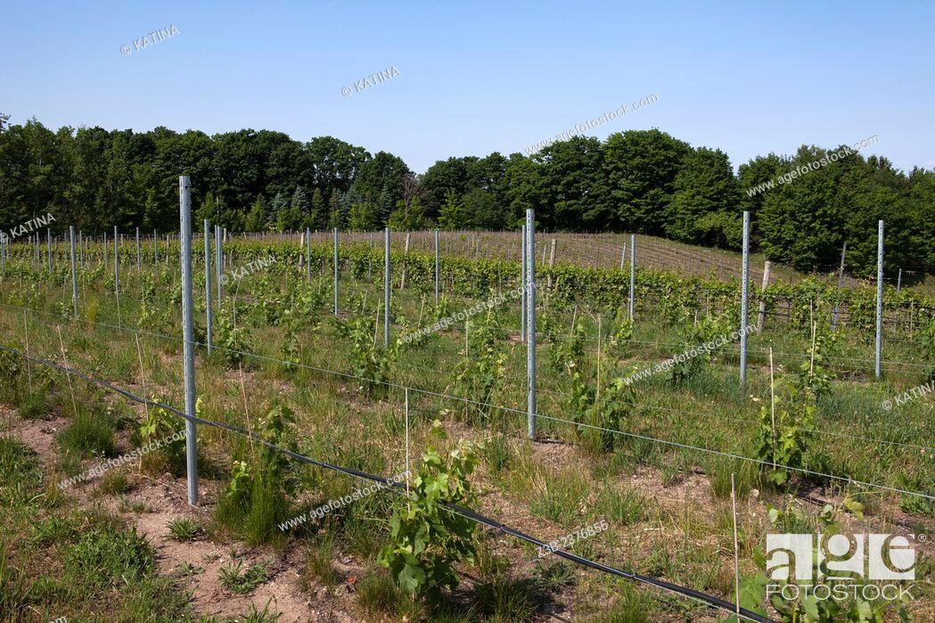 Imagen: Vineyards on Old Mission Peninsula, Lake Michigan, Traverse City area, Michigan, USA.