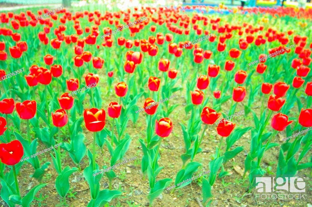 Stock Photo: flowergarden, flower, redtulip, red, spring, carpet, tulip.