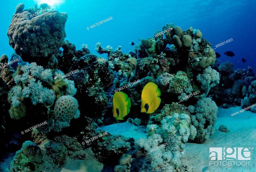 Stock Photo: Masked Butterflyfishes, Chaetodon semilarvatus, Sharm el Sheikh, Sinai, Red Sea, Egypt.