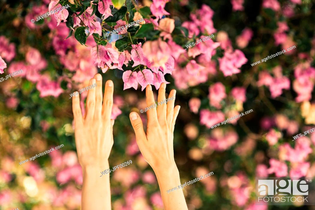 Stock Photo: Woman's hands reaching for pink blossoms.