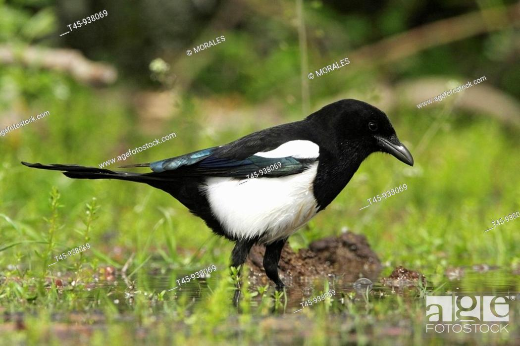 Stock Photo: Magpie (Pica pica), Lake Kerkini, Greece.