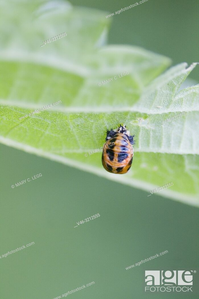 Stock Photo: Harlequin Ladybird pupae, Harmonia axyridis, large ladybird which have multiple colora variations with dots 0-22. Most common form is red or orange with 14 dots.