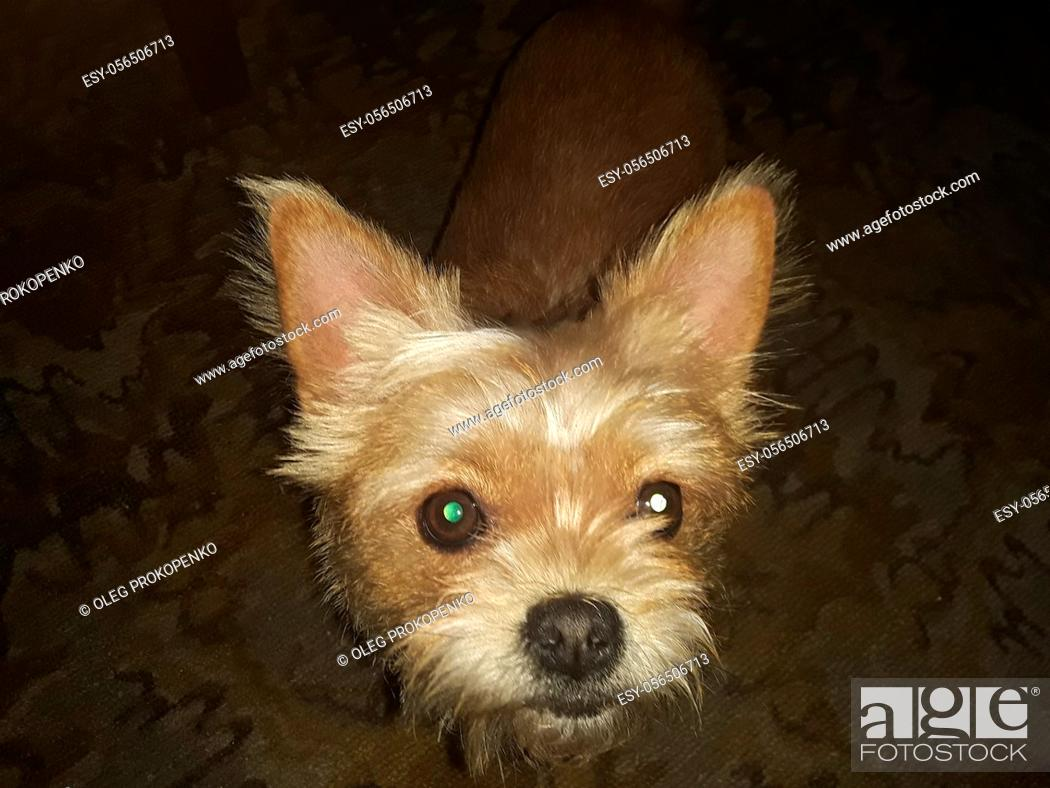 Stock Photo: Muzzle of a dog Chihuahua breed close-up looks at in the camera.