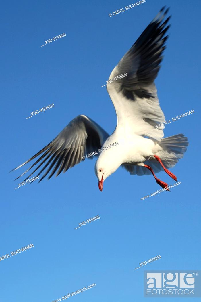 Stock Photo: a seagull in flight.