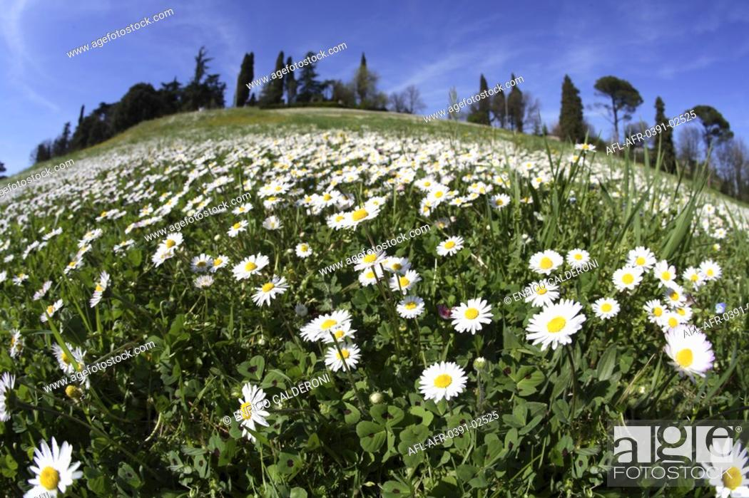 Stock Photo: Flower field with white flowers.