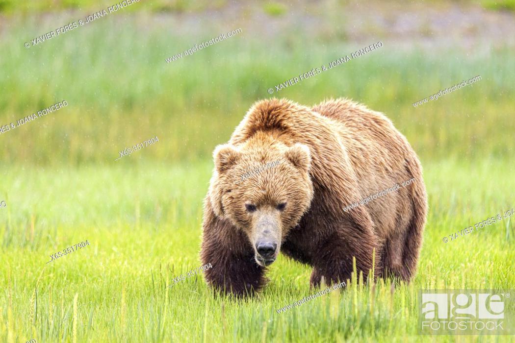 Stock Photo: Male grizzly brown bear - Ursus arctos -, Lake Clark National Park, Alaska, U. S. A.