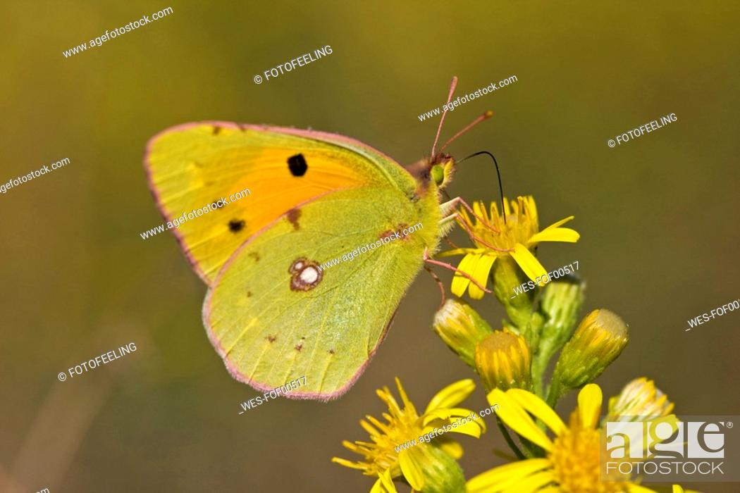 Stock Photo: Pale Clouded Yellow butterfly Colias hyale, on flower.