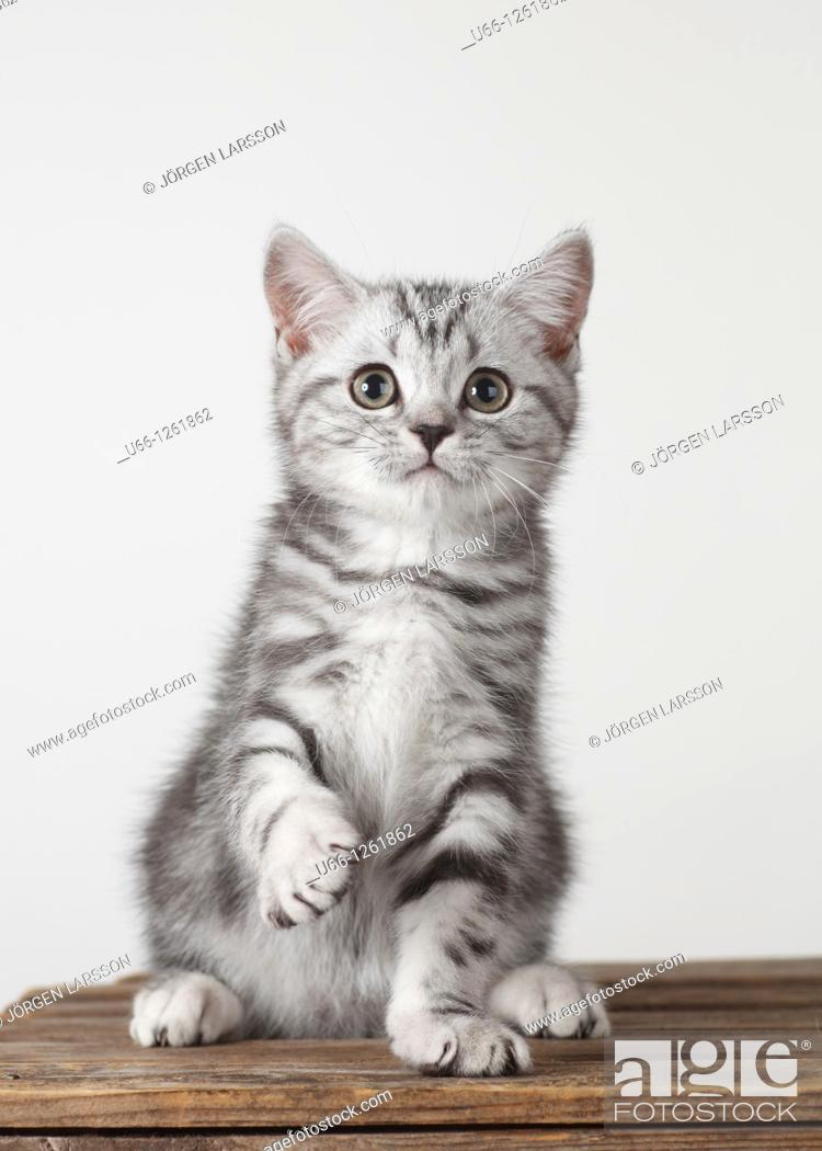 Photo de stock: Brittish shorthair Stockholm Sweden.