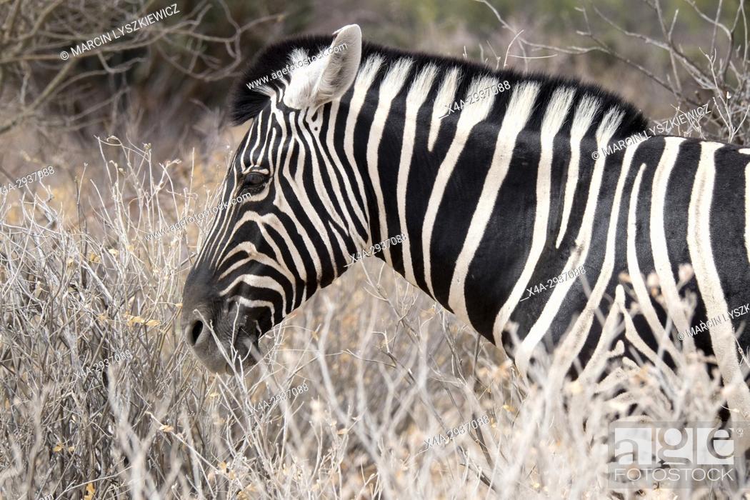 Stock Photo: Portrait of mountain zebra (Equus zebra), Etosha National Park, Namibia.