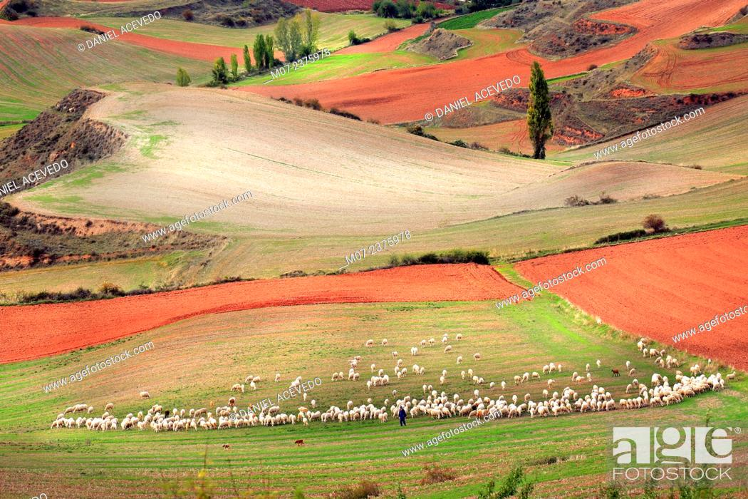Stock Photo: Flock of sheep and shepherd, beautiful cereal fields in Rioja wine region, La Rioja, Spain, Europe.