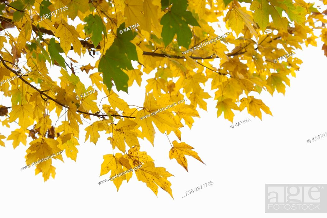 Imagen: Yellow maple leaves in autumn at the Frelinghuysen Arboretum, Morristown, New Jersey, NJ, USA.