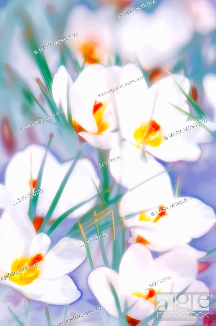 Stock Photo: White Crocuses in Bloom. Crocus biflorus 'Purity'. March 2007, Maryland, USA.
