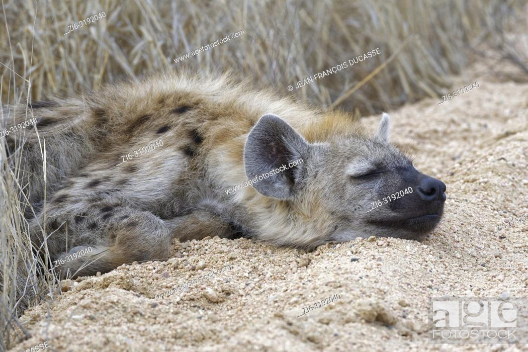 Imagen: Spotted hyena or Laughing hyena (Crocuta crocuta) cub, sleeping on the edge of a dirt road, Kruger National Park, South Africa, Africa.